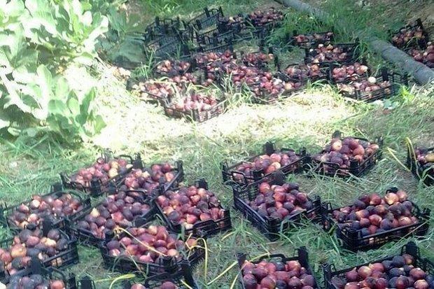 برداشت 10 تن انجیر از باغات شهرستان بدره