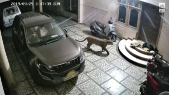 حمله وحشتناک پلنگ به سگ نگهبان