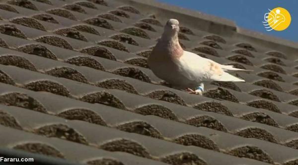 (ویدئو) داستان حکم اعدام برای یک کبوتر!